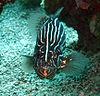 Sixstriped soapfish grammistes sexlineatus.JPG