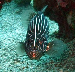 Sixstriped soapfish grammistes sexlineatus