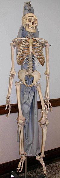 الهيكل العظمي وانظر إلى العظام 200px-Skeleton