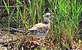Skrattmås Black-headed Gull (14796795097).jpg