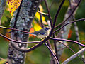 Small-bird - West Virginia - ForestWander.jpg
