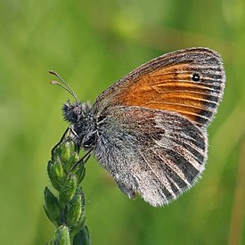 Small heath (Coenonympha pamphilus) P.jpg