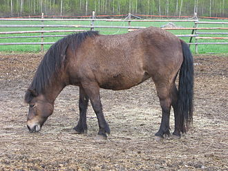 Smoky black - A sun-bleached smoky black Icelandic horse, which has the superficial appearance of a dark bay. Correctly identifying a smoky black often calls for knowing the genetic background of the individual animal.