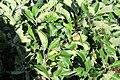 Sofiero (Helsingborg), garden, apple trees as little bushes-2.JPG