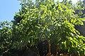 Solanum betaceum kz02.jpg