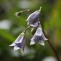 Solanum longiconicum 2