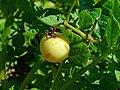 Solanum tuberosum 004.JPG
