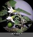 Solanum villosum subsp. alatum sl58.jpg