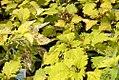 Solenostemon scutellarioides Solar Spectrum 0zz.jpg