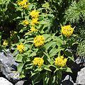 Solidago virgaurea subsp. leiocarpa (Mount Shirouma).JPG