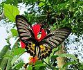 Southern Birdwing Female UP.jpg