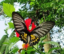 Southern Birdwing Female UP.jpg