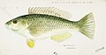 Southern Pacific fishes illustrations by F.E. Clarke 113.jpg