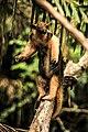 Southern tamandua - Equilibrando.jpg