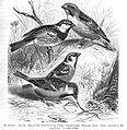 SparrowsBrehms.jpg