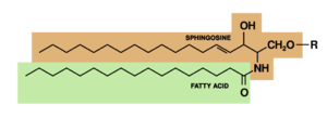 Glucocerebroside - sphingolipid
