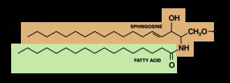 Glucocerebroside - sphingolipid