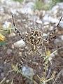 Spider, Pantokrator, Korfu 2018.jpg