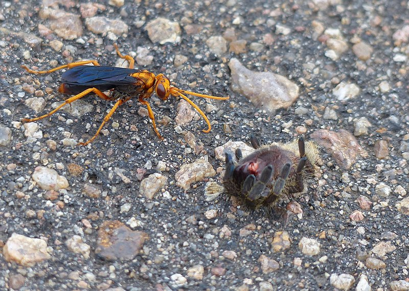File:Spider-hunting Wasp (Hemipepsis tamisieri) with its prey, a Baboon Spider (Theraphosidae) (12747967695).jpg