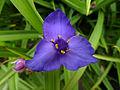 Spiderwort (Tradescantia virginiana), Roundhay Park.jpg