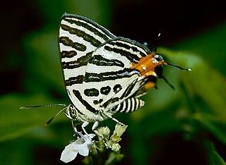 <i>Cigaritis</i> Genus of butterflies