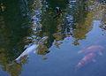 Spokane Manito Park koi pond 20150411.jpg