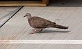 Spotted Dove (Spilopelia chinensis) (26438559026).jpg