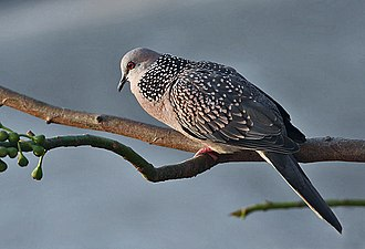 Spotted dove - Subspecies suratensis (from Kolkata) showing the spots on the wing coverts