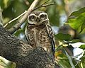 Spotted Owlet, Athene brama indica - Flickr - Lip Kee.jpg