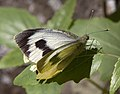 Spotted White Butterfly1 (5494159767).jpg
