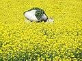 Spring is coming, Sialkotn pakistan.jpg