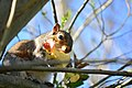 Squirrel in tree eating an apple near the Ceramic and Metal Arts Building, University of Washington - 03.jpg