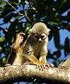 Squirrel monkey- Bonnet House, Fort Lauderdale, Florida (4233059899).jpg