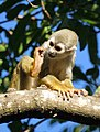 Squirrel monkey showing off its hind foot (4233060339).jpg