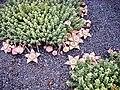 Stapelia variegata pm.jpg