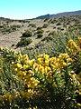 Starr-041211-1434-Ulex europaeus-flowers-Puu Nianiau-Maui (24425652460).jpg