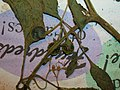 Starr-050427-0660-Solanum americanum-voucher 050405 19-Alau-Maui (24720959956).jpg
