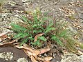 Starr-050815-3430-Pellaea ternifolia-habit-Pohakuokala Gulch-Maui (24408600829).jpg