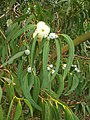 Starr-051123-5467-Eucalyptus globulus-flowers and leaves-Haleakala Ranch-Maui (24481501259).jpg