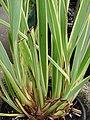 Starr-070906-8554-Phormium tenax-Tricolor habit-Kula Ace Hardware and Nursery-Maui (24798203261).jpg