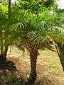 Starr-071024-8817-Phoenix roebelenii-habit-Enchanting Floral Gardens of Kula-Maui (24266703334).jpg