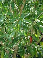 Starr-080531-4866-Capsicum annuum-fruit and leaves-Halsey Dr around residences Sand Island-Midway Atoll (24543274639).jpg