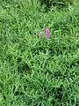 Starr-090514-7856-Lathyrus latifolius-flowers and leaves-Kula-Maui (24837347502).jpg