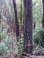 Starr-090521-8348-Fraxinus uhdei-burnt trunk-Polipoli-Maui (24838377592).jpg