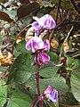 Starr-090803-3634-Lablab purpureus-flowers-Wailuku-Maui (24340465584).jpg
