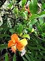 Starr-091104-0715-Hibiscus kokio subsp saintjohnianus-flower and leaves-Kahanu Gardens NTBG Kaeleku Hana-Maui (24987308635).jpg