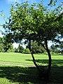 Starr-091104-0937-Calliandra haematocephala-habit-Kahanu Gardens NTBG Kaeleku Hana-Maui (24692366440).jpg