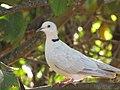 Starr-100113-1211-Psidium guajava-branches with ringneck dove-Waihee-Maui (24376089064).jpg