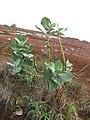 Starr-101228-5905-Calotropis procera-flowering habit-Puu Moiwi-Kahoolawe (24965798361).jpg