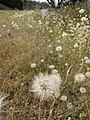 Starr-110405-4843-Hypochoeris radicata-seedheads-Kula-Maui (24964200582).jpg